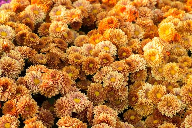 Backgroud 작은 꽃 노란색 오렌지 국화. 확대