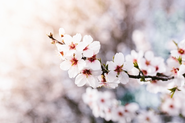 Background of almond blossoms tree. cherry tree with tender flowers. amazing beginning of spring. selective focus. flowers concept.