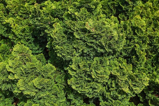 クロベの緑の枝の背景と質感。