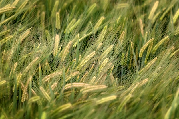 Background of barley field