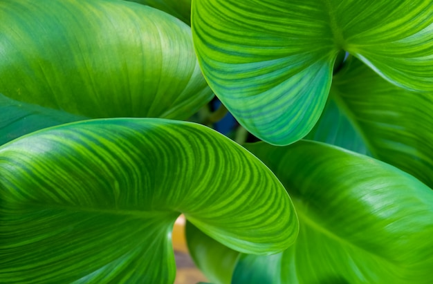 Background of beautiful elephant ear or colocasia plants