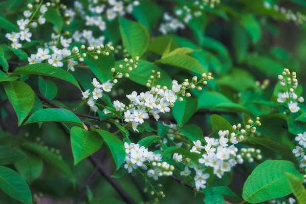 Background of blooming bird cherry and green leaves in spring