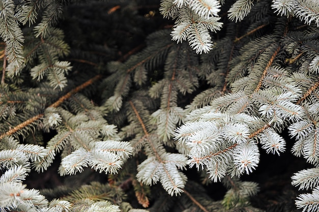 Background of blue spruce branches