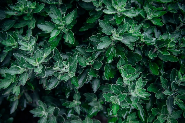 Background of chrysanthemum flower leaves. beauty is in nature. green carved leaves grow densely in the bush.