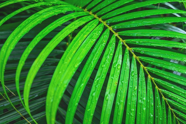The background of coconut leaves with water drops in the rainy season