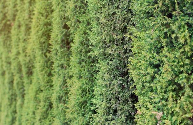 Background of a columnar juniper