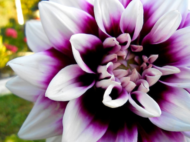 Background delicate dahlia with pink and white petals close up