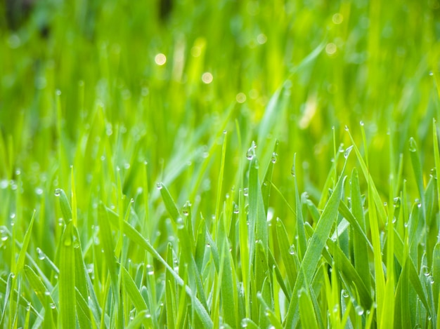 Background of dew drops on bright green grass in the garden.