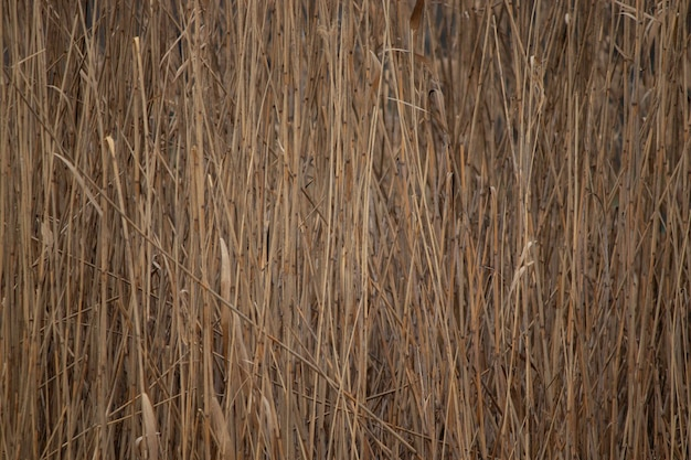 Background of dry beige trunks of reeds