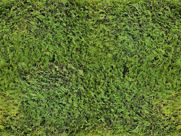 Background. earth. texture of grass or green hedge juniper bush