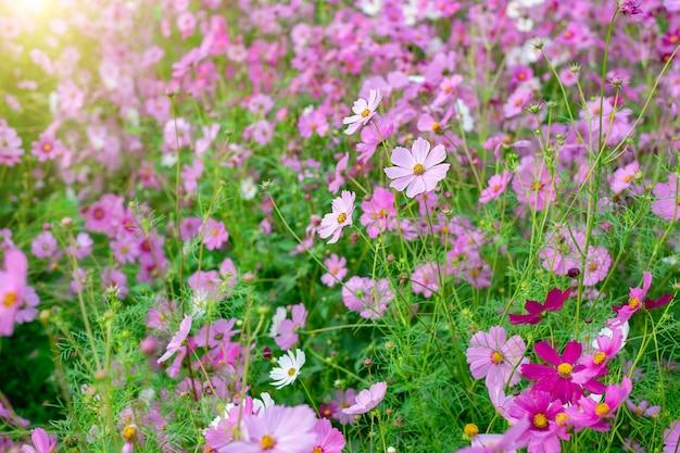 コスモスフラワーブルームガーデンの背景フィールドアスターは冬に美しく咲きます。