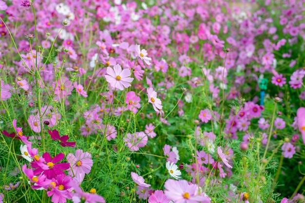 코스모스 꽃밭의 배경 과꽃은 겨울에 아름답게 핀다.