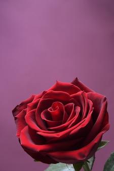 Фон для поздравительной открытки дня святого валентина. концепция дня святого валентина. красная, красивая цветущая роза. закройте вверх.
