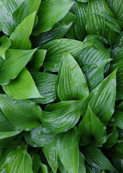 Background of fresh green hosta plant leaves with water drops after rain