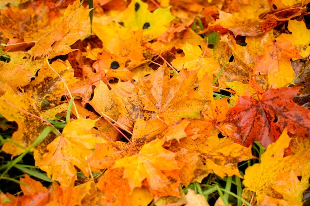 秋のカエデの葉からの背景。