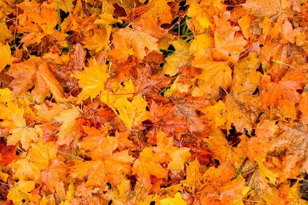 Фон из осенних кленовых листьев.
