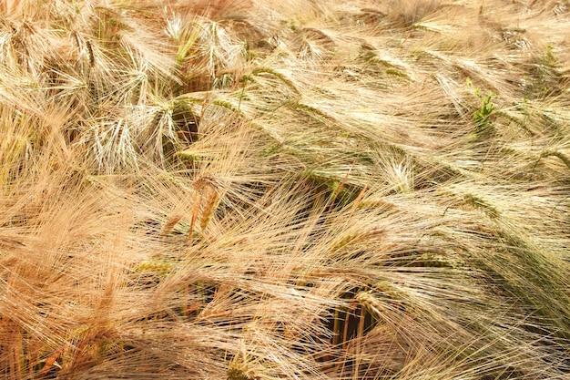 Background from ears of golden ripe rye. harvesting.