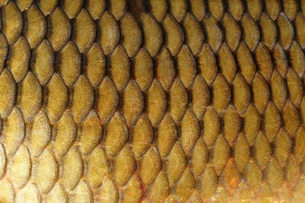 Фон из рыбьей чешуи. золотой карп крупным планом. макрос вид текстуры кожи рыбьей чешуи.