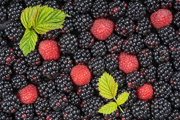 신선한 유기농 블랙베리와 라즈베리의 배경을 닫습니다. 잘 익은 육즙이 많은 야생 과일 생 열매가 테이블에 놓여 있습니다. 상위 뷰 블랙베리와 라즈베리