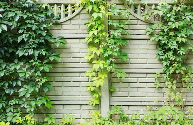 Фон из зеленого забора, обвитого диким пятилистным виноградом
