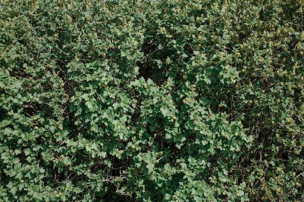 緑の春の葉からの背景。茂みに若い葉