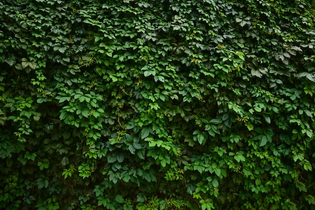 Background from a large hedge of green grape leaves for the whole frame