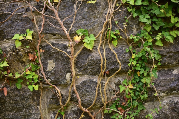 古いレンガの背景、右上隅にブドウの葉が織り込まれています