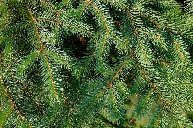 Background from pine branches close-up