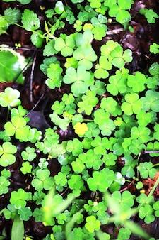 Фон из четырехлистного клевера растений. ирландский традиционный символ. день святого патрика.