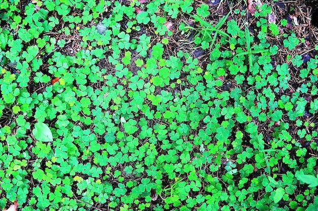 식물 클로버 네 잎에서 배경입니다. 아일랜드 전통 상징. 성 패트릭의 날.