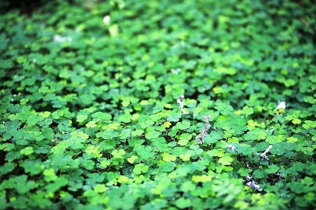 Фон из четырехлистного клевера растений. ирландский традиционный символ. день святого патрика. Premium Фотографии