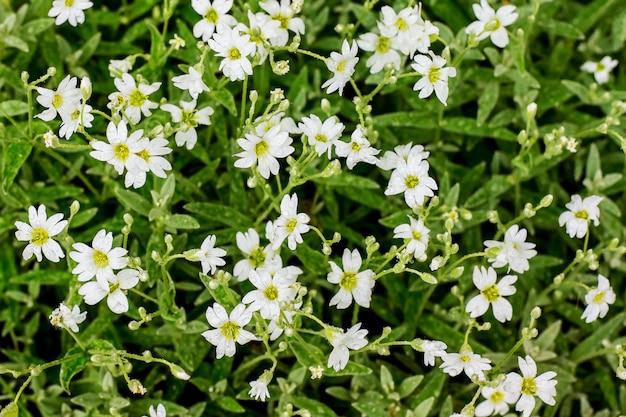 小さな白い花の背景。露の滴でカスミソウの花