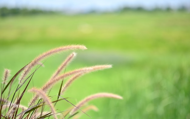 Background of grass flower soft focus and blur