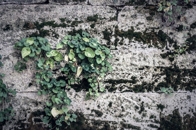 Background gray concrete stone wall with moss and weaving plant.