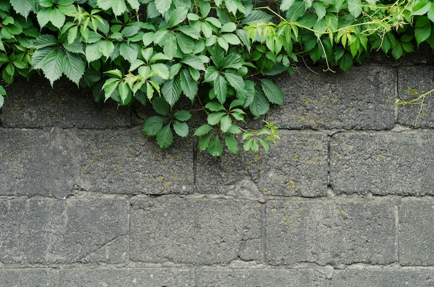 Background of a gray stone wall with green ivy leaves in the top