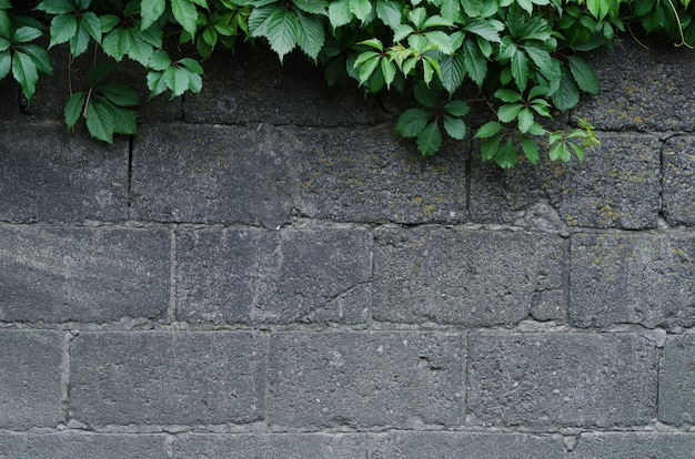 Background of a gray stone wall with green ivy leaves