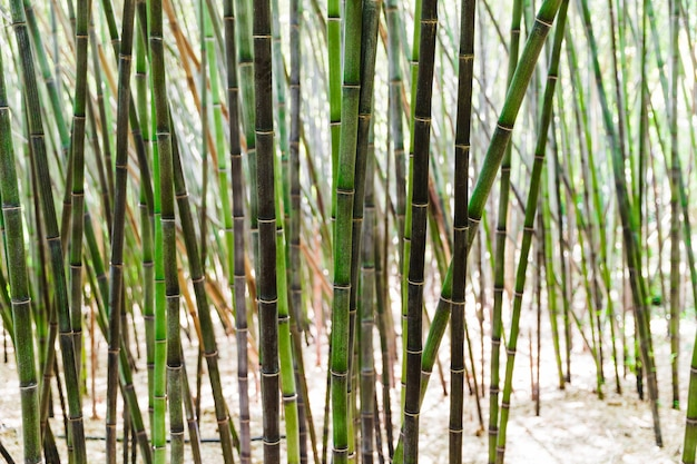 Background of green bamboo grove