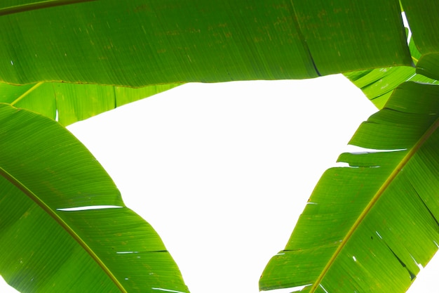 Background of green banana leaves, forest.