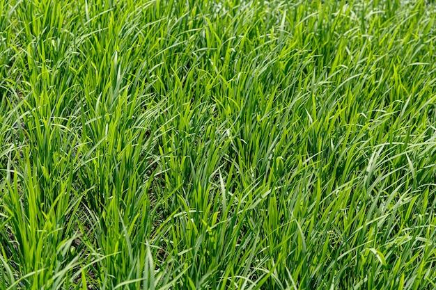 Background of a green grass texture. close-up