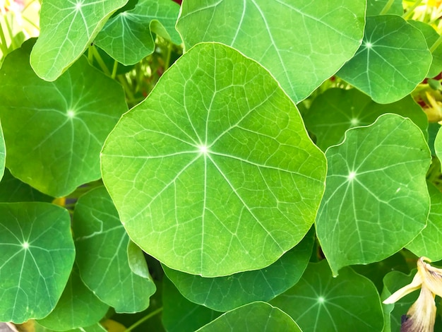 Background of green leaves of nasturtium of different shapes and sizes.