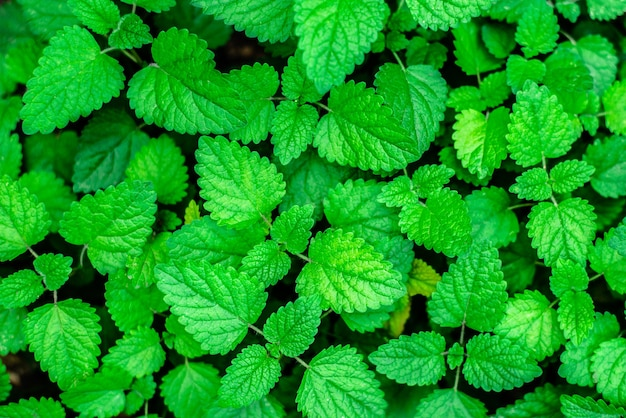 Background green mint