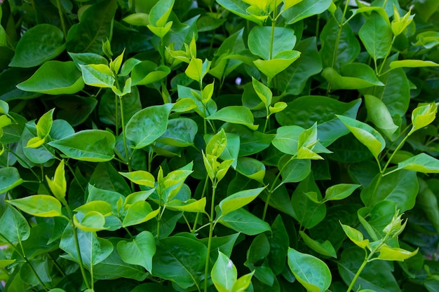 Background of green summer lilac leaves