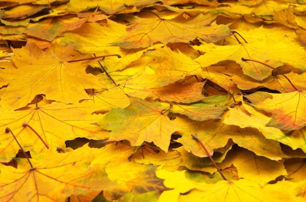 Предпосылка группы осенних оранжевых листьев.