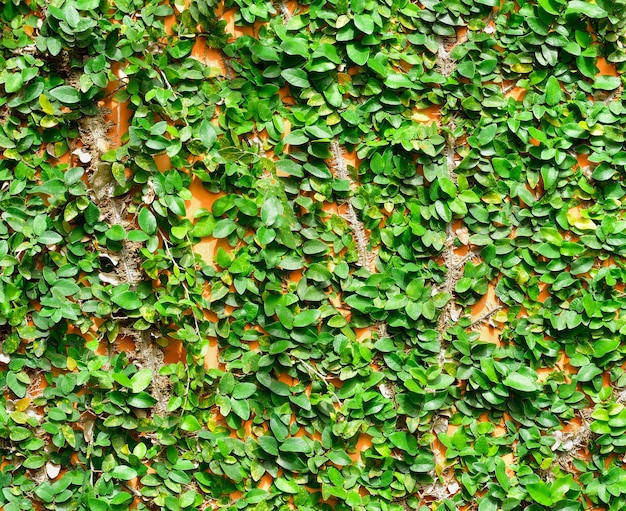 Background of ivy on the brick wall
