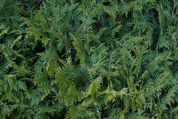 Background of juniper leaves background
