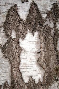 Background light birch tree bark close up