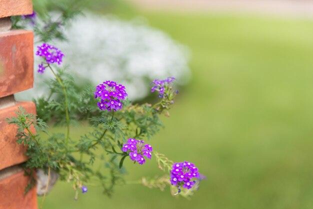 Background of little purple prairie verbena small flowers