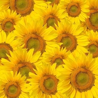 Фон из красивых желтых подсолнухов