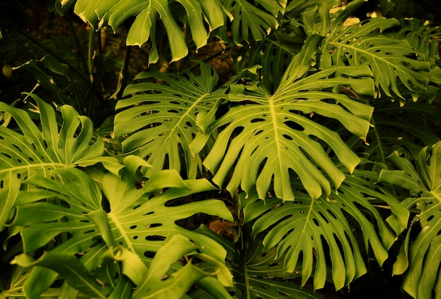 Background of monstera leaves