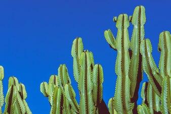 Background nature. Cactus Cereus peruvianus. Blue sky background